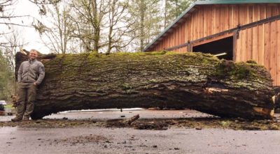 Black walnut recovery project