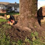 Black walnut recovery project