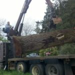 Urban recovered trees in Oregon by Jewell Hardwoods